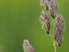 Lila-Blüte